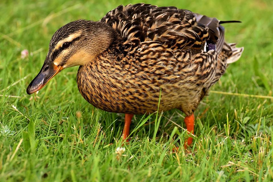 Mallard, Cute, Nature, Water, Duck, Bird, Plumage