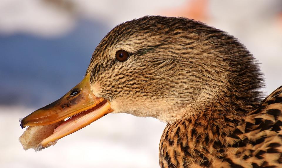 Duck, Mallard, Eat, Bread, Snow, Winter, Cold, Colorful