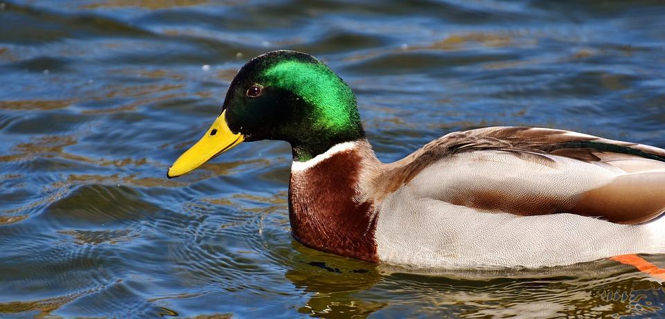 Duck, Mallard, Drake, Colorful, Water Bird, Duck Bird