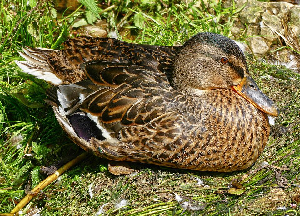 Duck, Mallard, Mallard Female, Female, Duck Bird, Bird