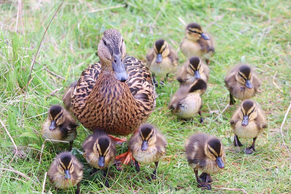 Ducks, Ducklings, Duck Family, Birds, Mallard