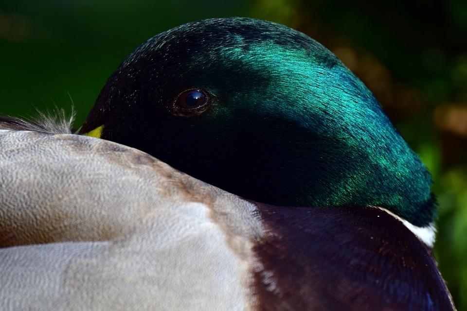 Duck, Mallard, Male, Head, Eye, Close Up, Break, Rest