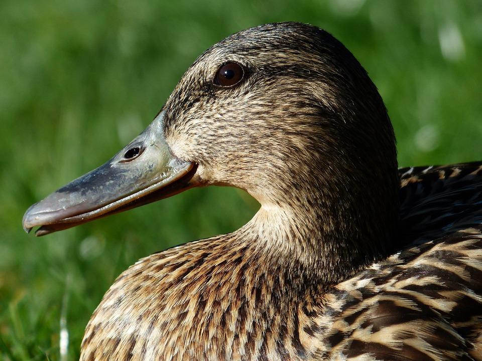 Mallard, Female, Anas Platyrhynchos, March Duck