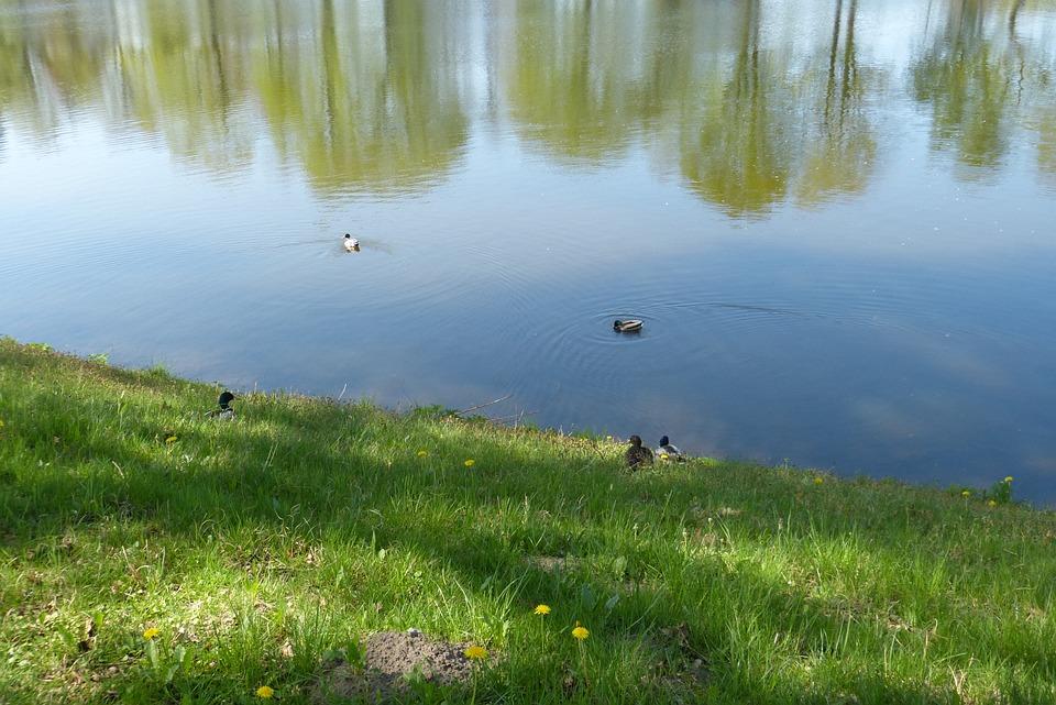 Ducks, Mallard, Water Bird, Animals, Nature, Water