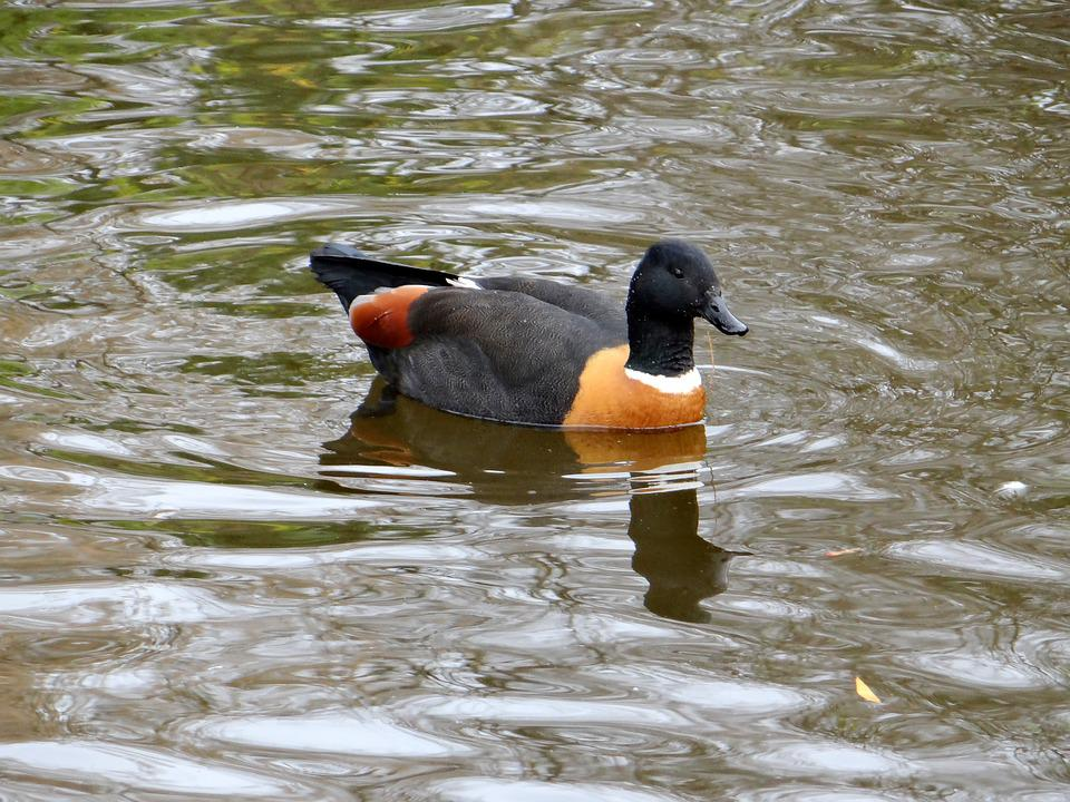 Mallard Paradise, New Zealand, Endemic Species, Duck