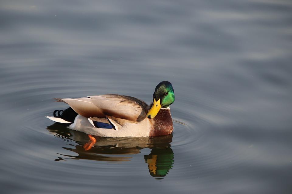 Duck, Mallard, Bird, Waterfowl, Feathers, Plumage, Swim