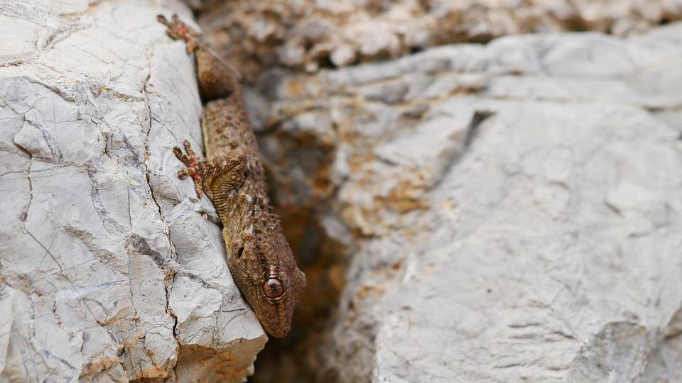 Gecko, Mallorca, Stone, Nature, Wall, Arta, Eyes