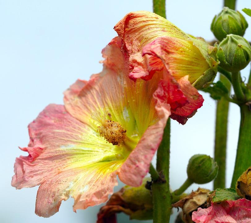 Hollyhock, Flowers, Plant, Stock Rose, Alcea, Mallow