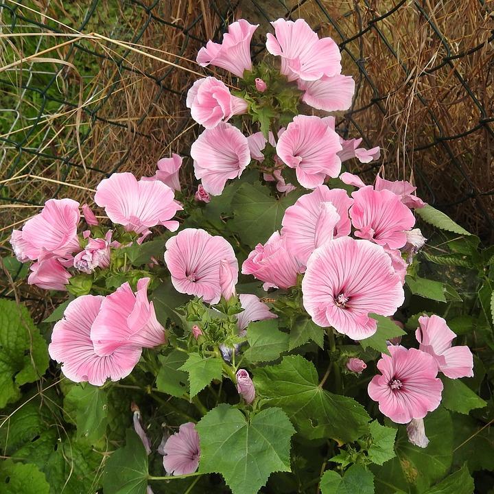 Mallow, Bush, Pink, Ornamental Shrub, Garden, Blossom