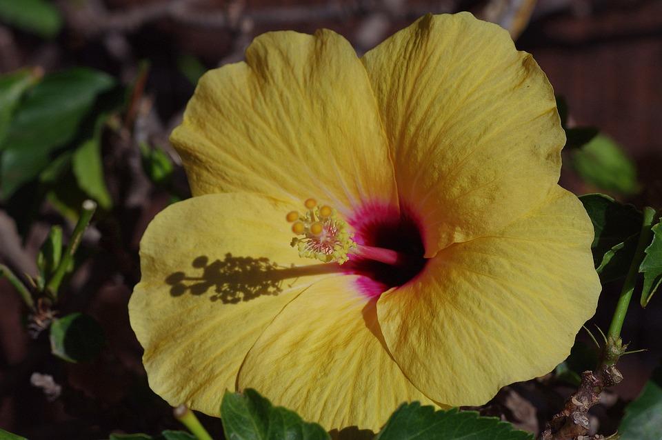 Hibiscus, Blossom, Bloom, Mallow, Malvaceae