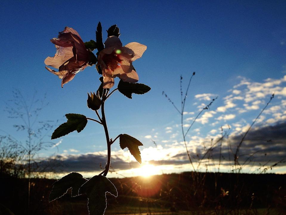 Mallow, Flower, Blossom, Bloom, Nature, Pink Mallow