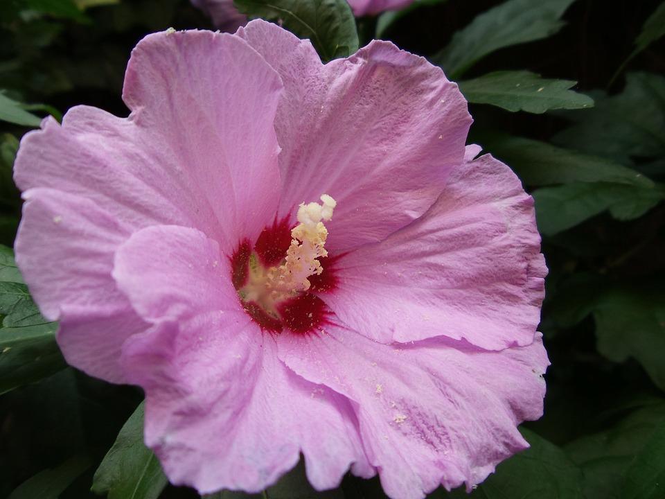 Mallow, Pink-flowered, Flower, Deciduous, Macro