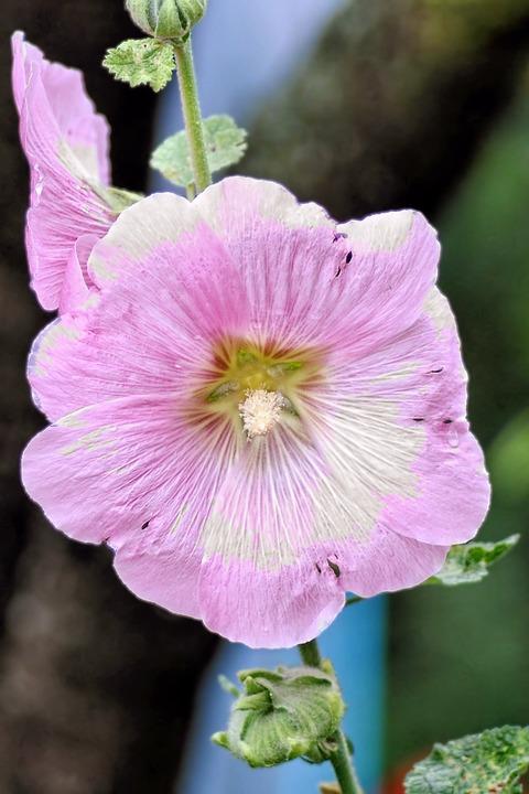 Mallow, Stock Rose, Blossom, Bloom, Pink, Flower