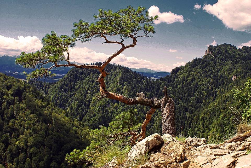 Pine, Tatry, Tree, Symbol, Pieniny, Malopolska, Poland