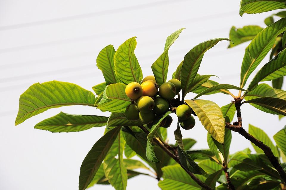 Malta Plum, New World, New World Fruit, New World Tree