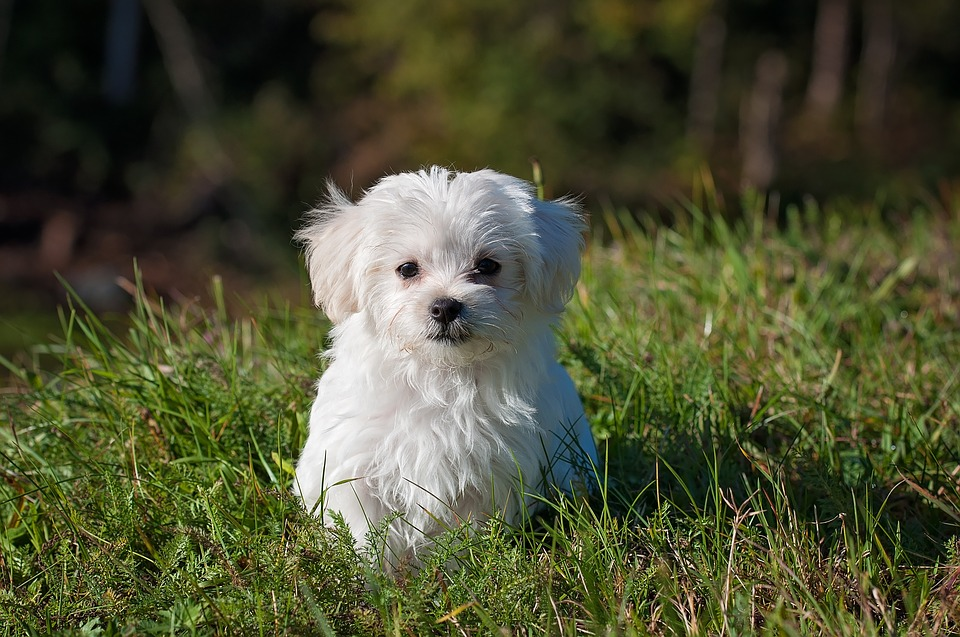 Maltese, Dog, Puppy, Small Dog, White Dog, Young, Pet