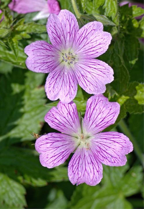 Mallow, Malva, Flower, Violet, Purple, Wild Mallow