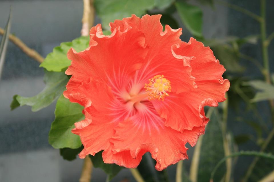 Hibiscus, Red, Flower, Malva, Bloom, Nature, Flowers