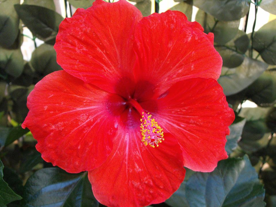 Red Flower, Hibiscus, Colorful, Colored, Malvaceae