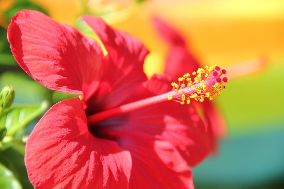 Flower, Red, Hibiscus, Blossom, Bloom, Malvaceae