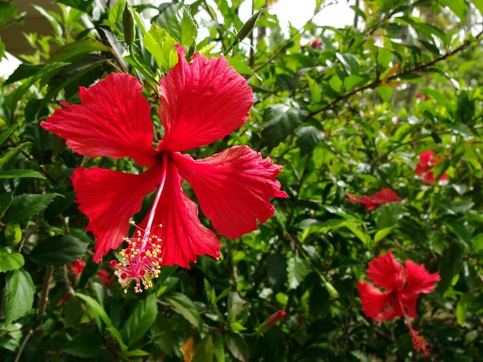 Hibiscus, Rosa Sinensis, Flower, Red, Malvaceae