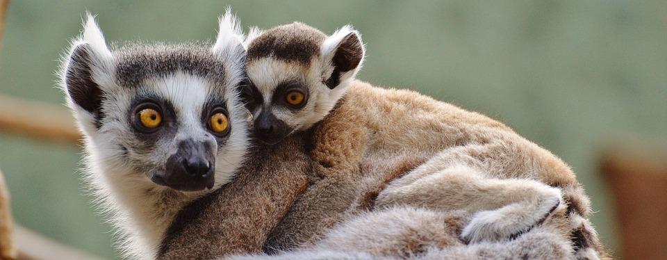 Ape, Lemur, Animal World, Zoo, Mama, Young Animal
