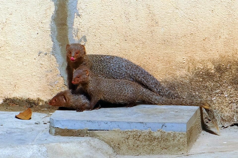 Mongoose, Mama, Youngs, Grey, Indian, India