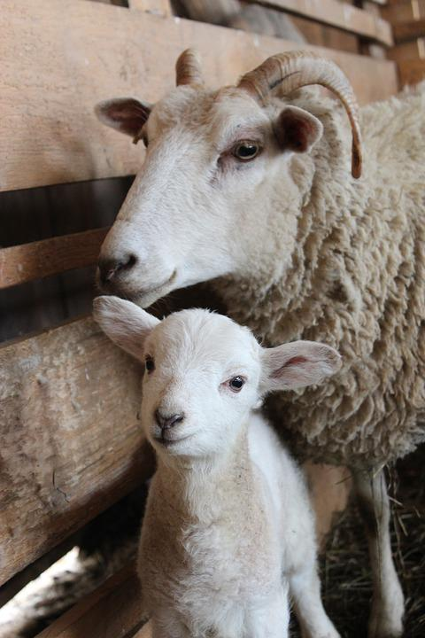 Sheep, Lamb, Baby Sheep, Mama Sheep, Wool, Animal, Farm