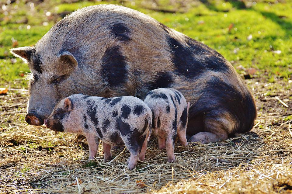 Piglet, Wildpark Poing, Mama, Young Animals, Pig, Small