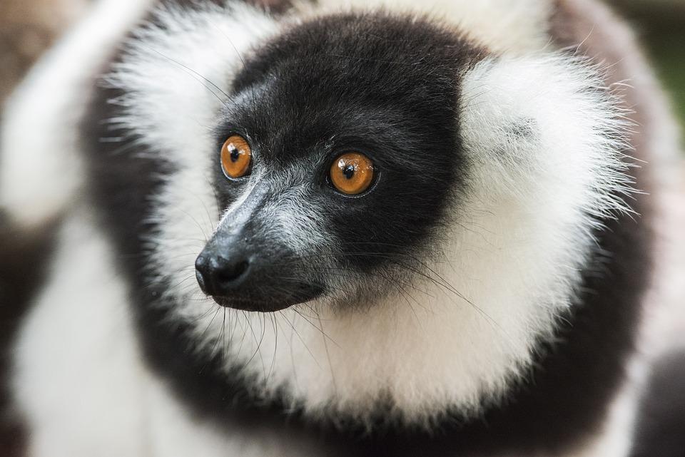 Lemur, Ruffed Lemur, Primate, Ape, Mamal, Animal