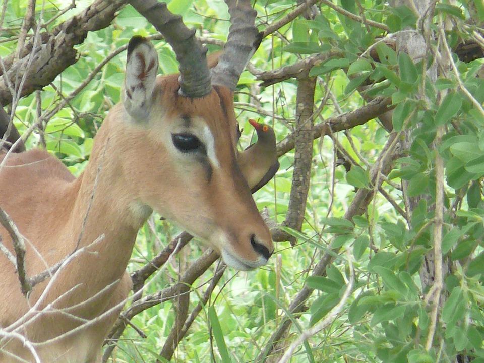 Impala, Africa, Animal, Mammal, Herbivore, Male
