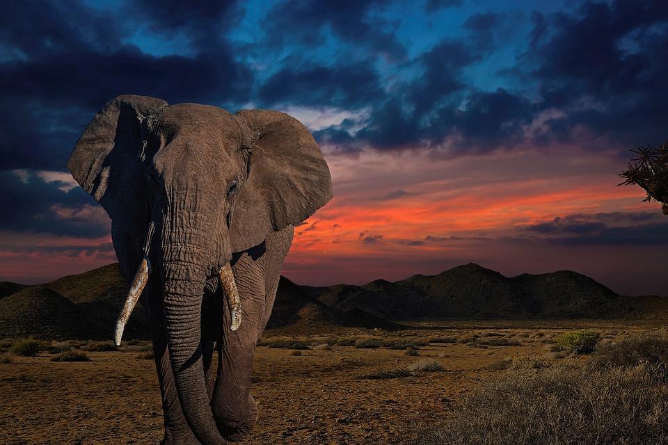 Elephant, Africa, Wildlife, Animal, Pachyderm, Mammal
