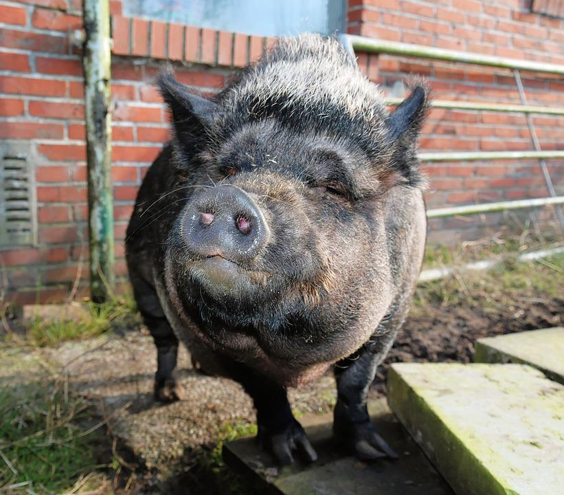 Pig, Sow, Mammal, Livestock, Dirty, Agriculture