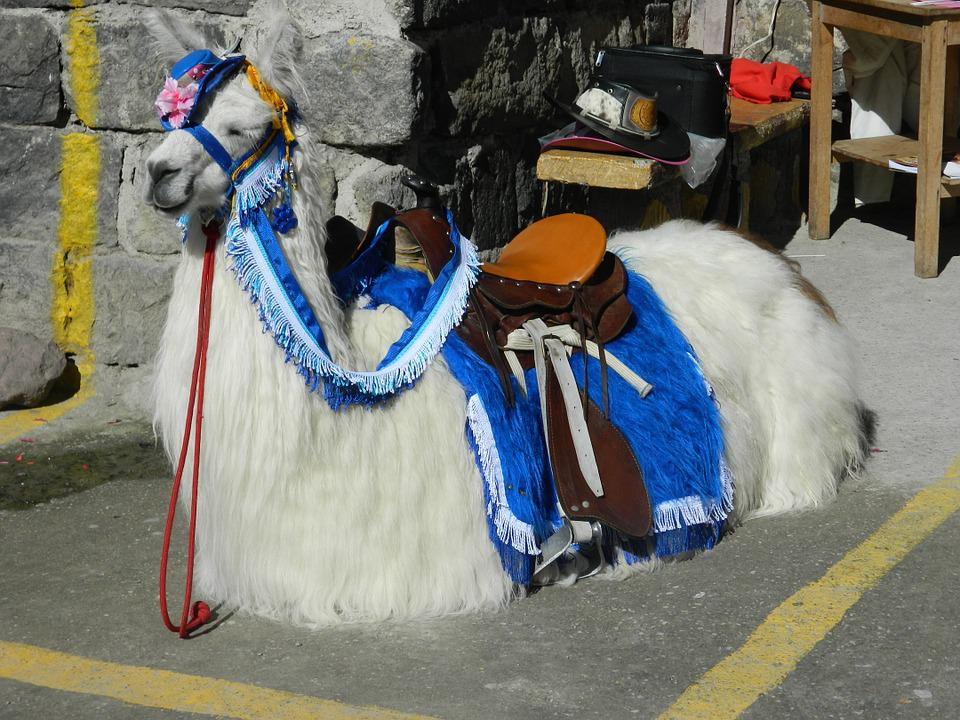 Flame, Animals, Wool, Andina, Andean Animals, Mammal