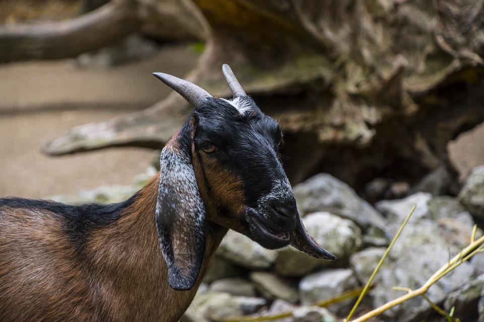 Goat, Animal, Horns, Nature, Animal World, Farm, Mammal