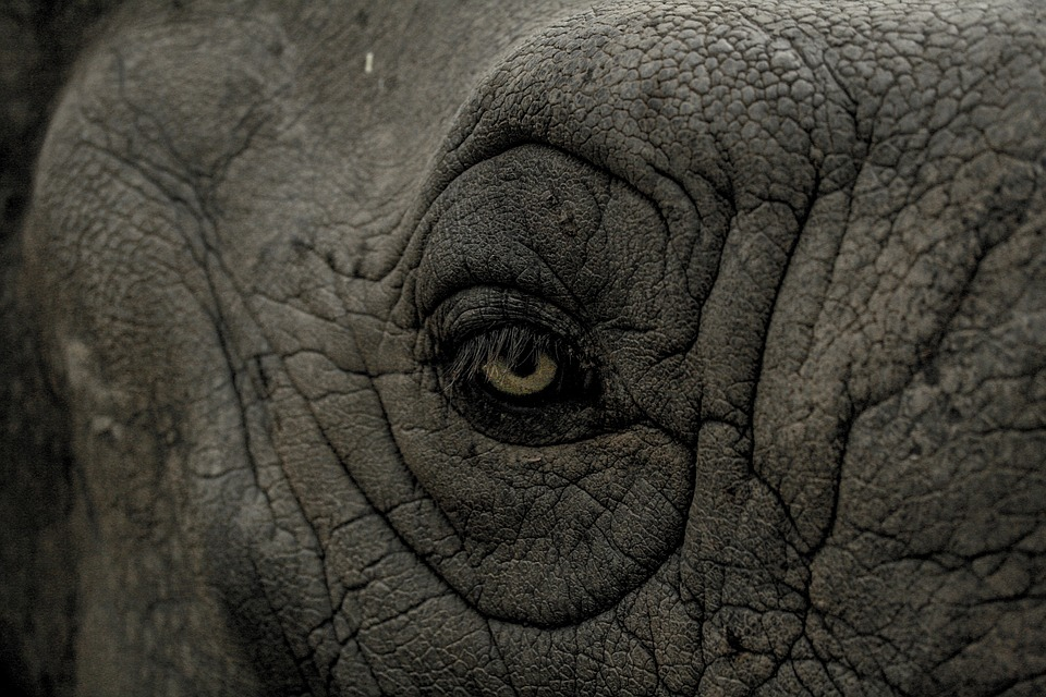 Eye, Wild, Rhino, Animal, Nature, Wildlife, Mammal