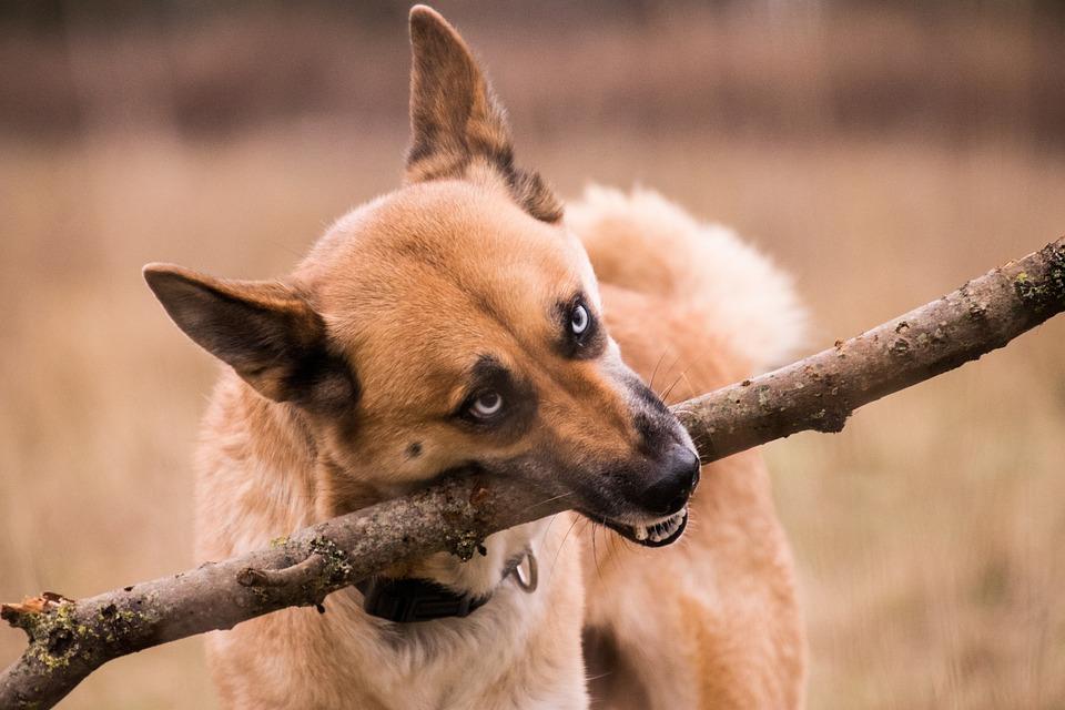 Animal, Mammal, Cute, Nature, Dog, Huski, Floor