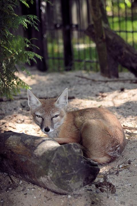 Fox, Curious, Animal, Nature, Wild, Fur, Mammal