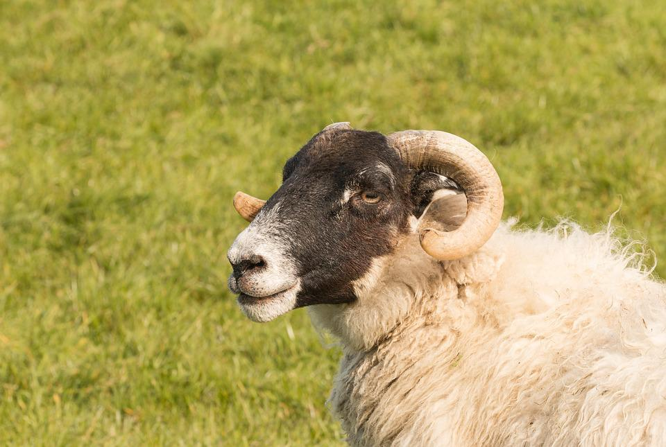 Blackhead Sheep, Sheep, Animal, Nature, Mammal, Meadow