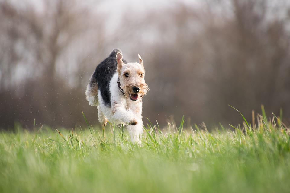 Grass, Dog, Mammal, Animal, Nature, Terrier, Running