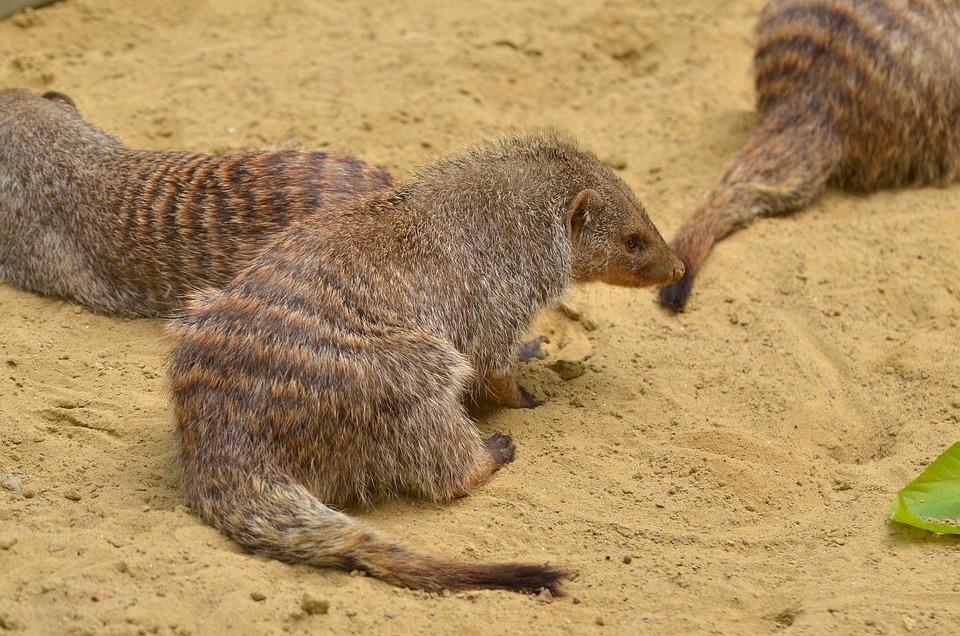 Mongoose, Zoo, Animal, Mammal, Wildlife Photography