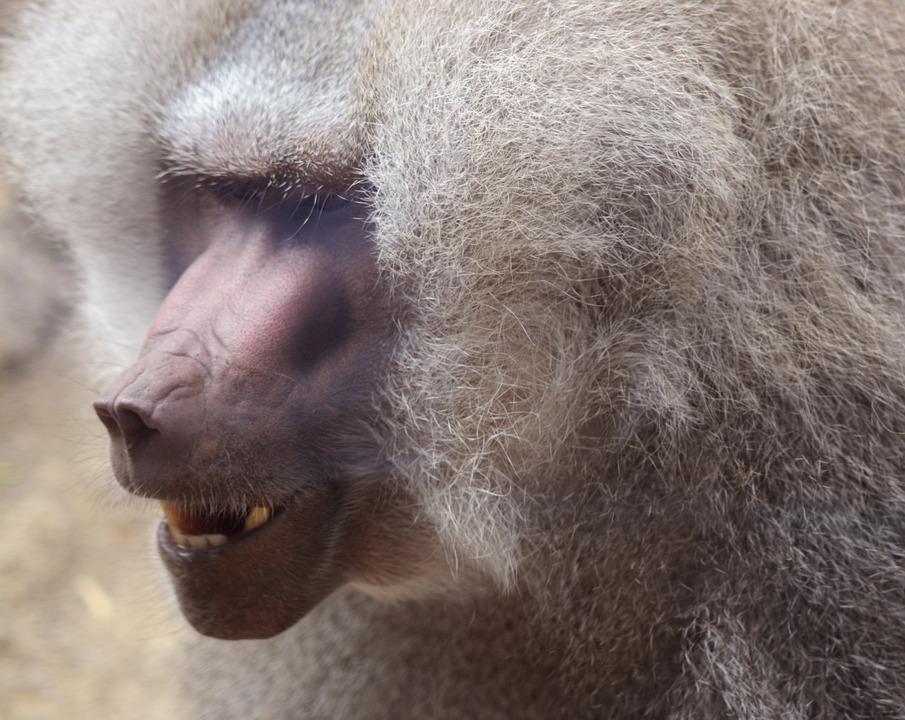Baboon, Primate, Ape, Mammal, Wildlife, Animal, Wild