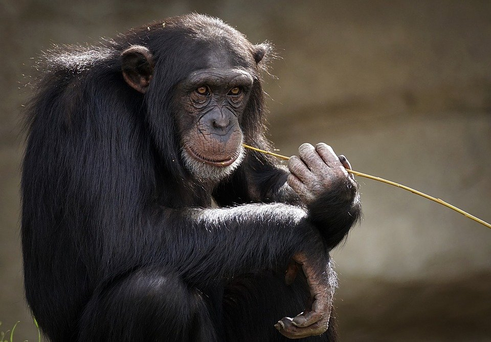 Chimpanzee, Monkey, Ape, Mammal, Zoo, Primates