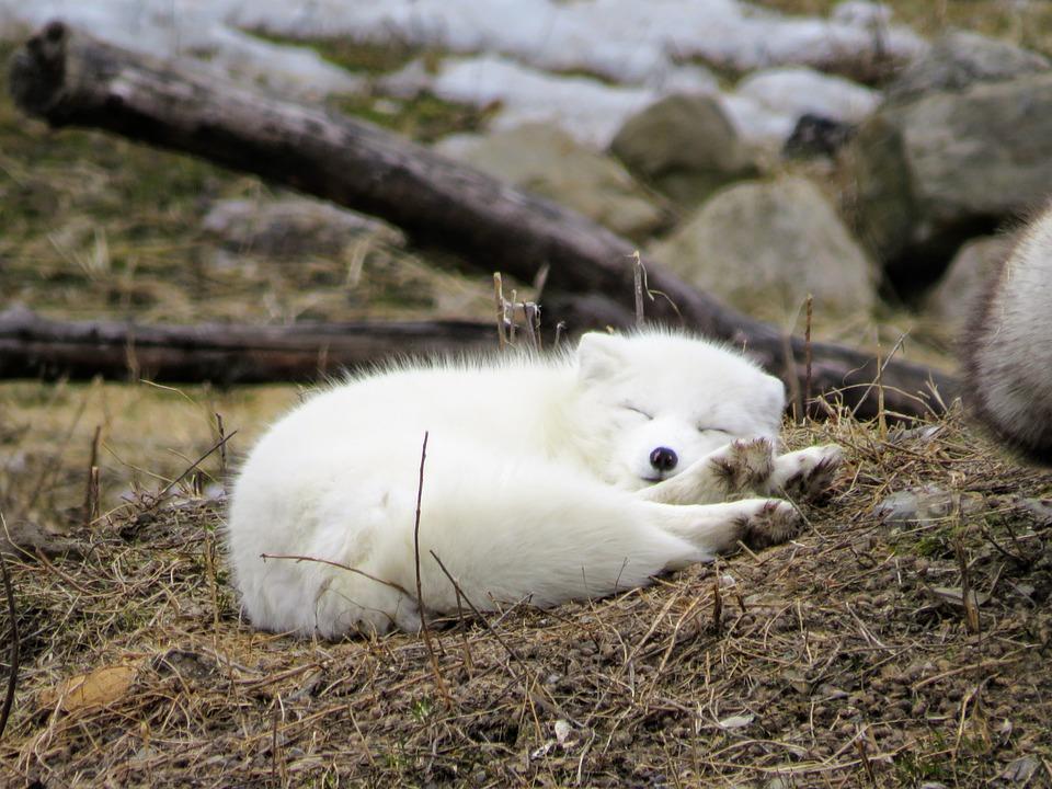Fox, Arctic, Animal, Nature, Wildlife, Mammal, Snow