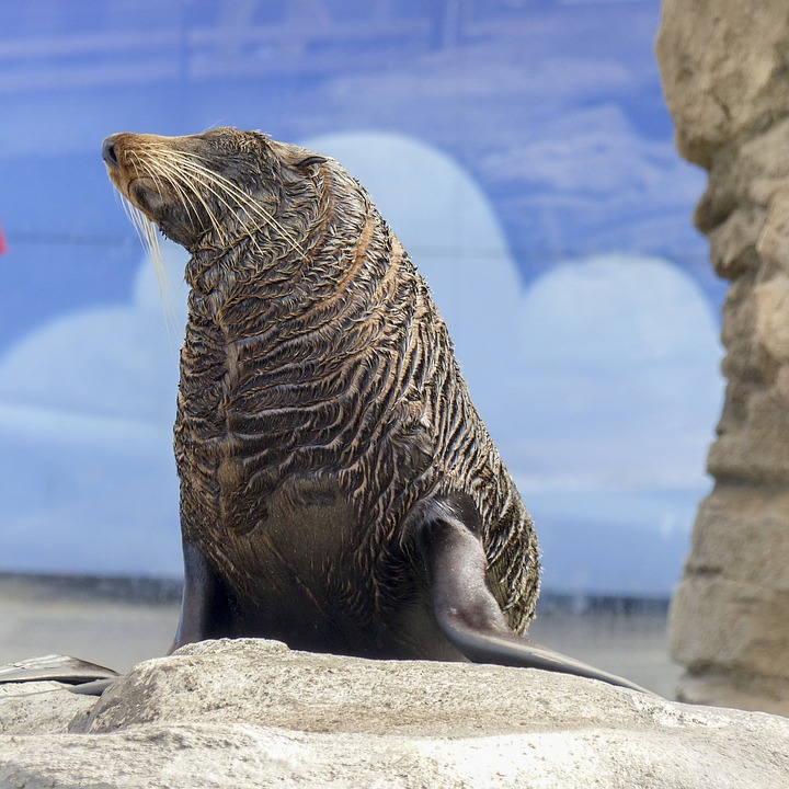 New Zealand Fur Seal, Seal, Australia, Mammal, Maritime