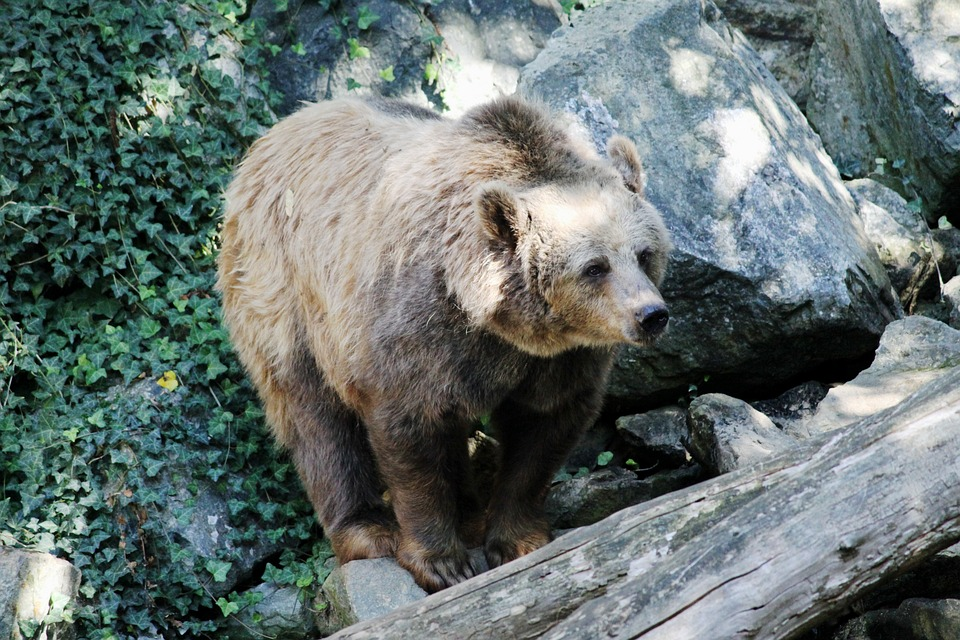 Bear, Nature, Fauna, Mammal