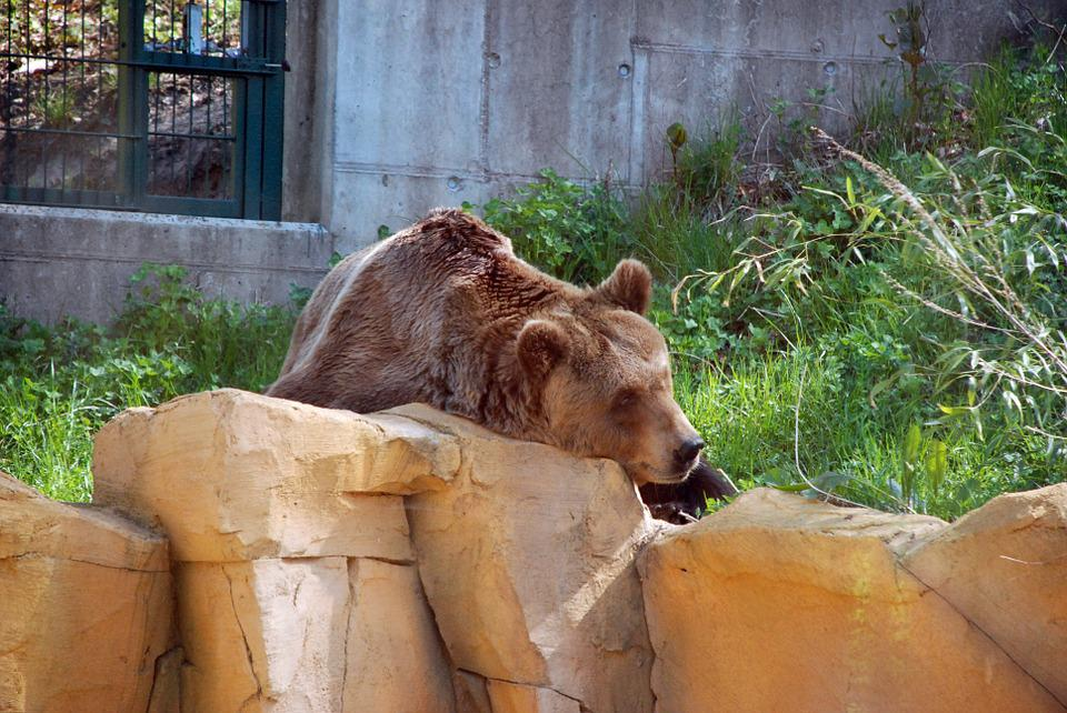 Brown Bear, Zoo, Animal, Bear, Mammal, Fur, Strong