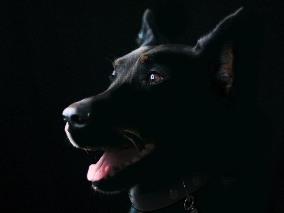 Dog, Pet, Animal, Black Dog, Mammal, Canine