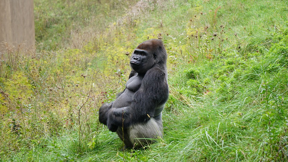 Gorilla, Ape, Monkey, Animal, Mammal, Primate, Black