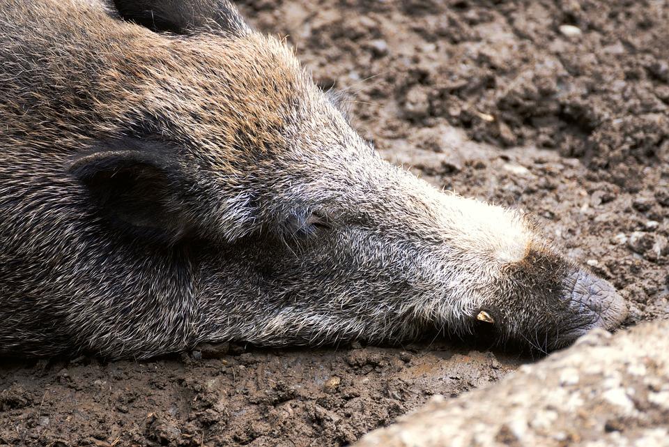 Boar, Wild Boar, Pig, Sow, Mammal, Wild, Bristles, Fur